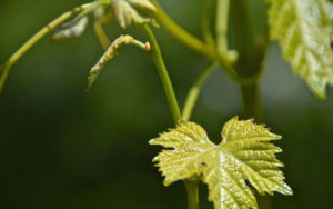 Grape-Leaf