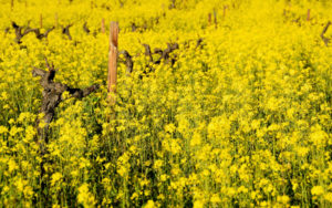Mustard-in-the-Vineyard