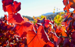 Red-Leaves-in-the-Vineyard