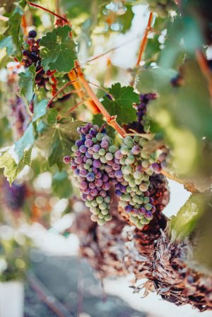 Colorful-grapes-on-a-vine-at-a-vineyard-in-Napa-CA-Unsplash