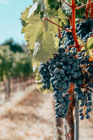 Grapes-on-a-vine-ready-to-become-wine-Flickr