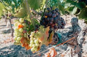 Grapes-turning-colors-during-veraison-time-in-the-Napa-Valley-Unsplash