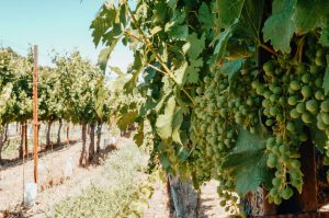 Green-grapes-on-a-vine-at-the-Trefethen-Family-Vineyards-in-Napa-CA-Flickr