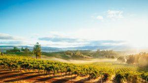 Sunrise Mist over California Vineyard Landscape