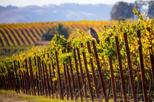 p21_Andrew-Lincoln_red-tailed-hawk-in-vineyard
