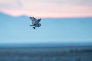 p22_Daniel-Dietrich_barn-owl-in-flight