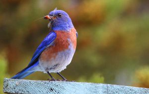 p23_Rick-Lewis_Western-bluebird-with-caught-insect