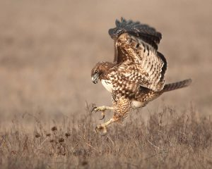 p23_Steve-Zamek_red-tailed-hawk-pouncing
